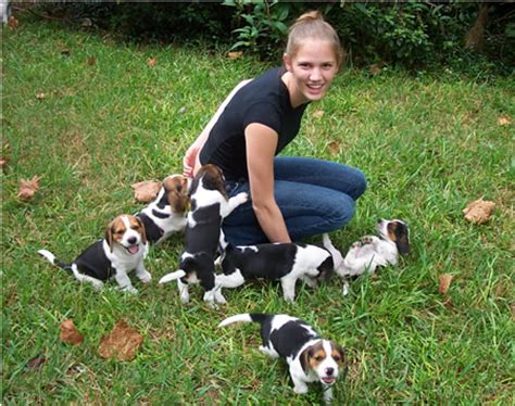 how much are beagle puppies ridlon pages beagle puppies
