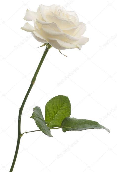 libro rosa blanca rose blanche rose blanche devant fond blanc photographie lifeonwhite 169 10902335