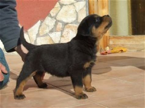 rottweiler puppies florida rottweiler puppies available for sale adoption from orlando florida adpost
