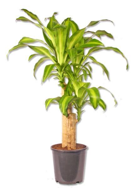 drachenbaum dracaena fragrans topfpflanze dracaena fragans drachenbaum p371 1