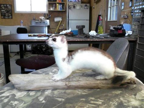 desk weasel for sale between phase weasel for sale pa