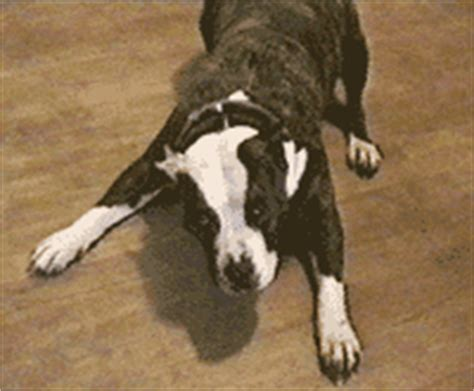 ataxia in dogs ataxia