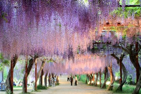 wisteria in japan wisteria walkway japan pixdaus