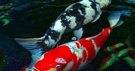 wallpaper hp pembawa hoki gambar foto hewan gambar ikan koi yang bagus
