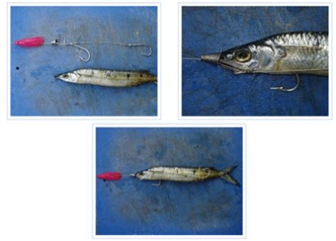 Umpan Bibit Ikan Bawal teknik umpan udang hidup check out teknik umpan udang