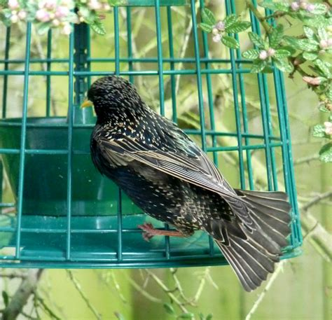 greedy starlings wildlife questions wildlife the