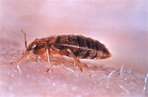 living with bed bugs haute tips haute living