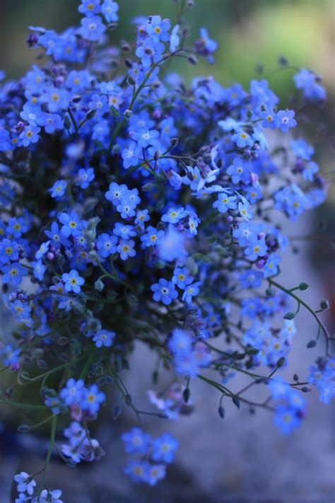Forget Me If You Can forget me not flowers your flowers blue your