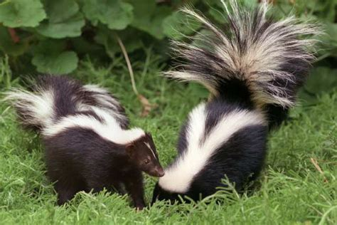 skunk in my backyard hulett s animal files other stuff skunks