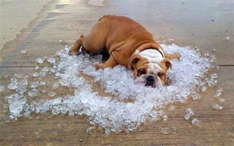 can dogs get when not in heat can dogs get a heatstroke dodogs