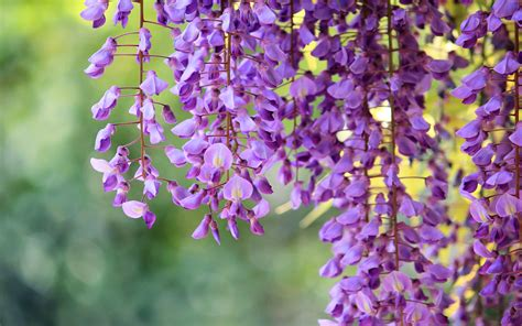 wisteria flower wisteria flower wallpaper wallpapers9