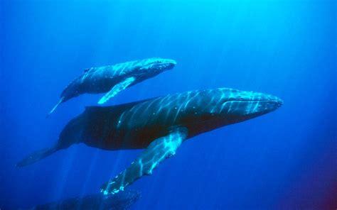 Pelung Anak Ikan Paus Jumbo paus biru ikan raksasa yang menyusui ulya days