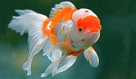 pesce testa di pesce oranda testa di xl preistoria