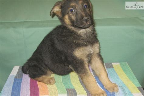 german shepherd puppies las vegas german shepherd puppy for sale near las vegas nevada a3701c4c 7161