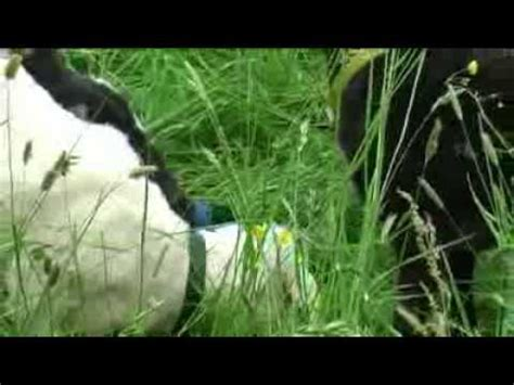 Schafhaltung Im Garten by Die Schafe Kommen Schafhaltung In 214 Sterreich Mp3