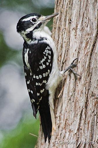 gordon wolford photography ontario central ontario birds