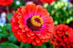 zinnia flower flower homes zinnia flowers