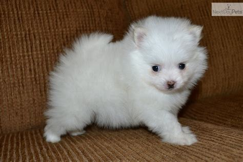 teacup pomeranians for sale in louisiana pomeranian puppy for sale near louisiana 23b7b887 52d1
