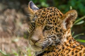 Jaguar Bangladesh Jaguar Cub Cat Cat Muzzle Baby Wallpaper 2000x1333
