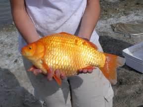 Garden Pond Fish Types - giant goldfish swarm in toronto waters toronto star