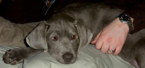 silver lab puppies washington labrador retriever puppies for sale current litter information