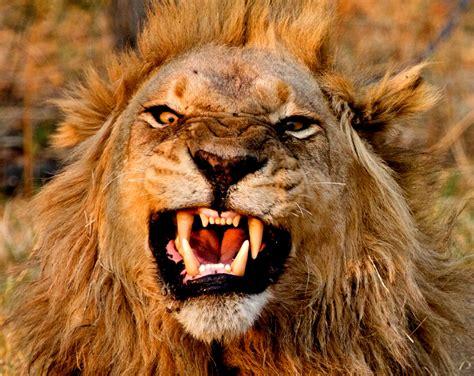 lion cat predator rw wallpapers hd desktop  mobile