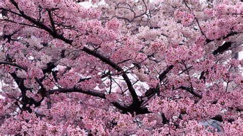 cherry tree background 11664 cherry blossom tree widescreen desktop wallpaper walops