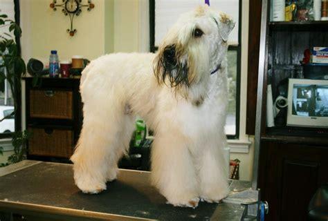 hair styles cuts for wheaten terriers wheaten terrier haircut styles newhairstylesformen2014 com
