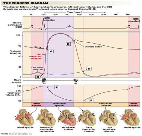 wiggers diagram quiz flashcards chapter 14 cardiovascular physiology