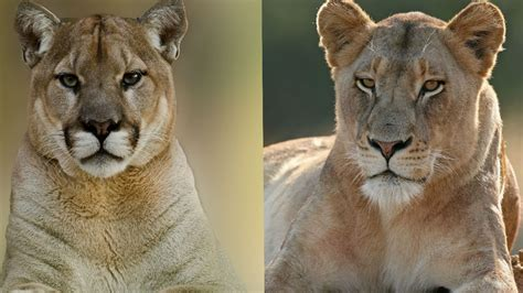 difference between lion and lioness difference between lion and lioness lion mountain lion the