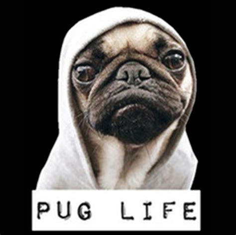 pug lige t shirt pug thug gangster puppy ebay