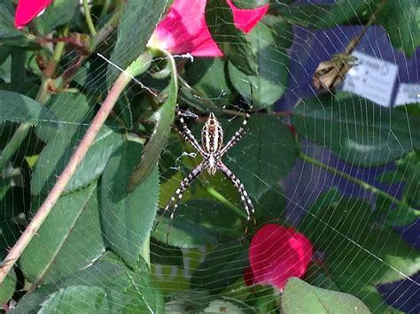 Garden Spider Behavior Black And Yellow Garden Spider Calloway S Dfw