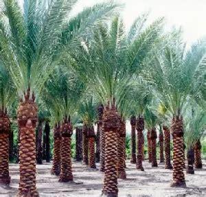 contoh tumbuhan monokotil  dikotil gambar ciri