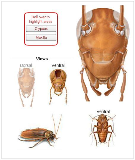 cockroaches images  pinterest bugs insects