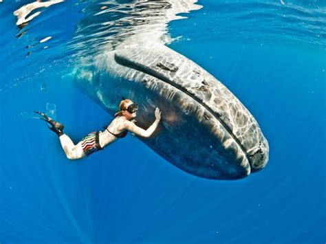 Who Sings For Blues How Blue Whales Became Ingredients In - amazing facts about blue whales