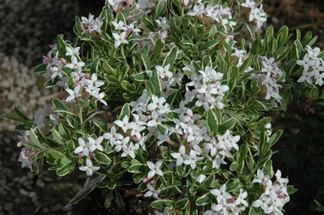 Pink Spring Flowering Shrubs - daphne x burkwoodii carol mackie the site gardener