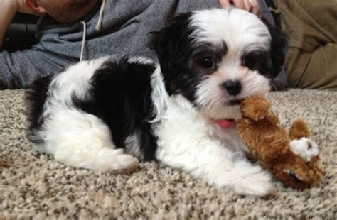maltese shih tzu black our road to an eight week malshi maltese shih tzu puppy puppy