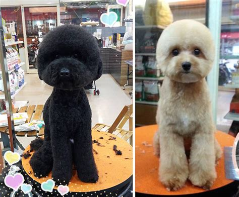 how many rounds of do puppies get dogs with perfectly square or haircuts is the new trend in taiwan