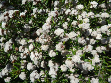 cryptandra scortechinii cotton bush gardening  angus