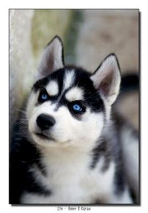 dogs that look like huskies siberian huskies are beautiful dogs they look like wolves and breeds picture