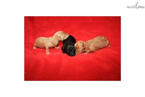 yorkies for sale in modesto ca yorkiepoo yorkie poo for sale for 600 near modesto california 5b702bd9 68e1