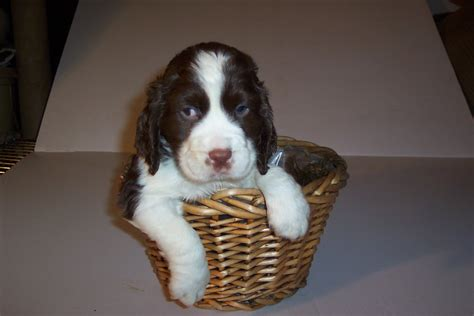springer puppies springer spaniel puppiez
