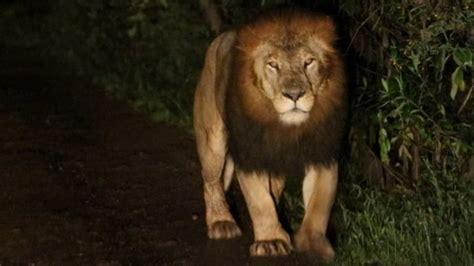 film avec un lion noir un chercheur filme un rare lion avec une crini 232 re noire en