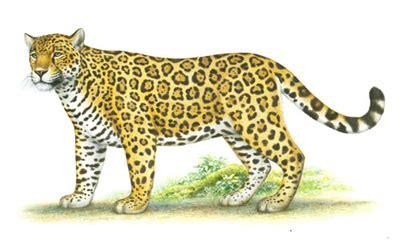 imagenes de un jaguar en caricatura especies en peligro de extinci 243 n jaguar