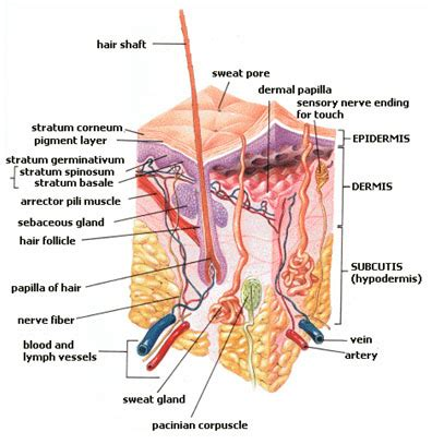skin organ diagram labeled skin free engine image for