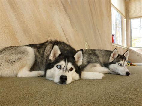 Do Siberian Husky Shed by Siberian Husky Facts