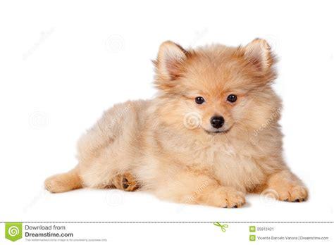 puppy puppy puppy puppy puppy stock image image 25912421