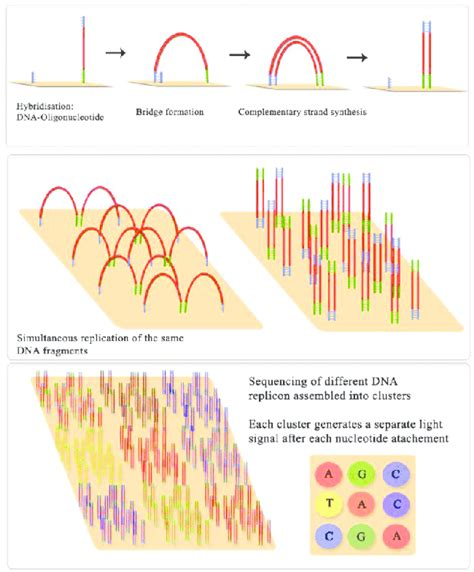 illumina genome sequencing cluster formation in illumina ngs sequencing