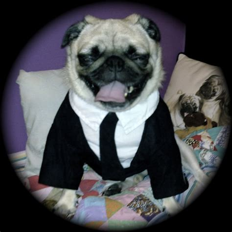 frank the pug costume cheeze in frank s costume features in in black pug venus in