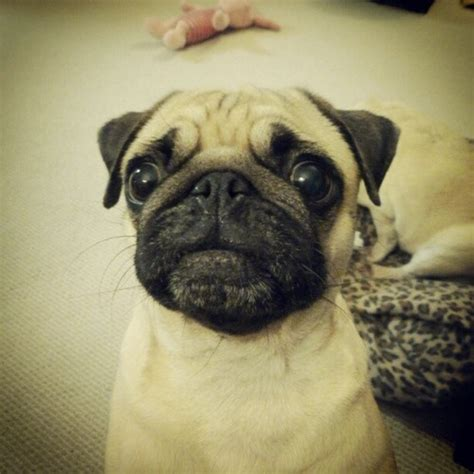pug cough 17 best images about pugs frenchies on pug puppys and park
